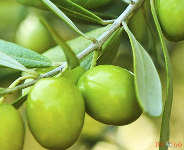 Tác dụng của quả Olive